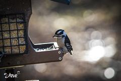 Downy Wood Pecker II (Steve Stambaugh Jr.) Tags: downy woodpecker wild nature beautiful outdoors bird tree wood bokeh