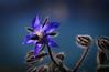 "SDIM6353- sd1- ""Borago officinalis"" - voigtlander apo skopar 75mm f8 (ciro.pane) Tags: sigma sd1 merrill foveon fiore borragine borago officinalis sentore primavera forme colori skopar 75mm f8 voigtlander apo italia italy italien italie contributo sfocato bokeh"