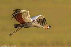 Aerial elegance.... (Duncan Blackburn) Tags: 2018 greycrownedcrane kenya masaimara bird nikon nature wildlife