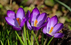 In my garden (LuckyMeyer) Tags: spring makro garden green lila violett yellow flower fleur plant krokuss crocus