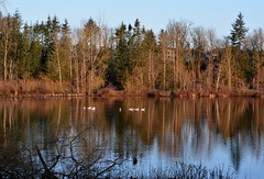 TRUMPETER SWANS.  WHAT A TREAT!   MAYBE THEY WILL STAY AROUND.  MILL LAKE,  ABBOTSFORD,  BC. (vermillion$baby) Tags: milllake abbotsford reflection swans bc fraservalley beautifulbc