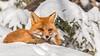 Red Fox enjoying the sun (Chris St. Michael) Tags: redfox fox nature naturephotography wildlife wildlifephotography winter outdoors animal