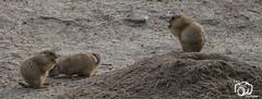 wildlands-emmen-17 (voorhammr) Tags: 2018 juul robin apen emmen giraffen ijsberen neushoorn nijlpaard pinquins prairiehonden vlinders wildlands zeeleeuwen zoo drenthe nederland nl