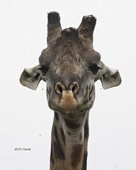 Masai Giraffe (featherweight2009) Tags: masaigiraffe giraffatippelskirchi giraffes mammals africa