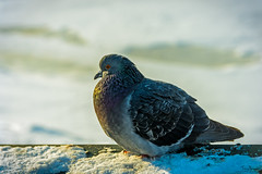 Cold pigeon (Tony_Brasier) Tags: cold russia raw river brids pigeon sigma nikond7200 day outdoors snow sky saintpetersburg 1750mm lovely location fun flickr fantastic peacefull