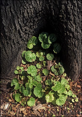 (Cliff Michaels) Tags: iphone6 photoshop pse9 dallas texas arboretum