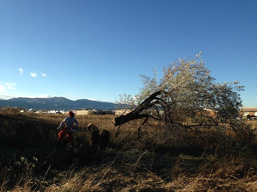 Photo - Large Russian Olive Cutting Eaton