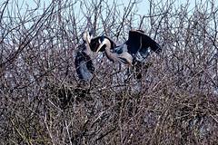 Great Blue Heron on nest (ferglandfoto) Tags: d5c9587 greatblueheron greatblueheroninflight greatblueheronwithmate greatblueheronnesting nature naturepicture naturepic natureshot naturephotography wildlife wildlifepic wildlifephotography ardeaherodias