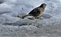 """ Till The Morning Comes "" (hope2029) Tags: dunnock bird sunshine snow winter shadows leeds west yorkshire"