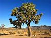 USA 2004 (October 6th) California, Joshua Tree National Park (paulbackovich) Tags: a1 california dimage joshuatreenationalpark konica minolta usa thisjoshuatreeisveryoldhealthyandbeautifulthelargestjoshuatreeonrecordwas80feet24meterstallandwasestimatedtobeabout1000yearsoldjoshuatreestypicallygrowmorethan20feettall6meterstheymaytake60yearstocomet andcanlivemorethan500years