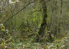 entanglement (Obsidianphotog) Tags: outdoors salem oregon usa pnw landscape tree green wood spring merrill