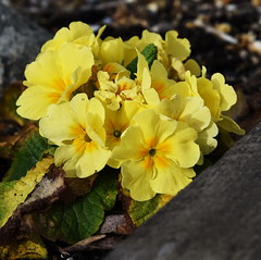 DSC_8934 (PeaTJay) Tags: nikon england uk gb royalberkshire reading winnersh flowers plants