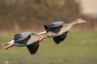 Stereo Greylag in flight - (Anser anser) 'Z' for zoom