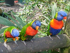 Botanical gardens  de Deshaies Guadeloupe (rossendale2016) Tags: deshaies de green perch captive tame yellow blue red orange birds coloured brightly bright guadeloupe gardens botanical