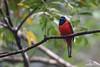 Red-naped Trogon (Ard.Pixtures) Tags: trogon kasumba bird birds birding birdphotography birdwatching birdwatcher nikon nikonflickraward aperture d750 200500mm jungle nature wildlife malaysia malaysiaphotography
