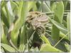 LAGARTIJA (BLAMANTI) Tags: lagartija lagarto lagartos reptiles reptil canon canonpowershotsx60 blamanti jerezdelafrontera 2018