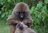 Grooming Session (ashockenberry) Tags: baboon nature naturephotography wildlife wildlifephotography ape monkey primate grooming africa tanzania caring nurturing ngorongoro crater national park