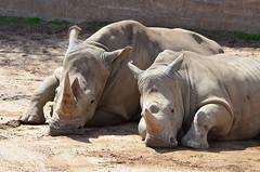 DSC_5437 (Andrew Nakamura) Tags: animal mammal rhino rhinoceros whiterhino southernwhiterhinoceros lyingdown sandiegozoosafaripark safaripark escondido
