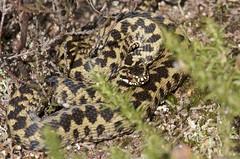 IMG_9353 (Sula Riedlinger) Tags: adder adderviperaberus viperaberus viper snake reptile ukwildlife uknature ukreptile nature nationalnaturereserve surrey surreywildlife surreyheathland wildlife wildlifephotography herpetology