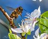 Worker European honey bee-Apis mellifera-2229 (George Vittman) Tags: insect bee honey color naturephotography wildlifephotography macrophotography nikonpassion nature wildlife jav61phortography jav61 photography