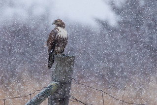 Red Tailed Hawk in Snowsquall