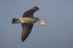 Starfish for lunch (eilidhwatson) Tags: harbour coastal outside flight nature gull starfish