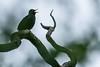 Singing his heart out (pakerholm) Tags: blackbird turdusmerula koltrast sigma150600 sigma150600f563dgsports sigma150600mmf563 sigmasport sigma 150600 600 nikon d600 d610 nikond600 nikond610 fullframe fullformat fågelskådning ornitologi ornithology birdwatching birds bird fågel fåglar linnut lintu wildlife animals vildadjur oxelösund södermanland sörmland sweden brannäsvåtmark wetlands sverige brannäs