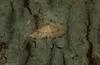 Addaea subtessellata (dustaway) Tags: rprr rotarypark rainforest arthropoda insecta lepidoptera thyridiidae addaeasubtessellata australianmoths australianinsects lismore nature northernrivers nsw australia