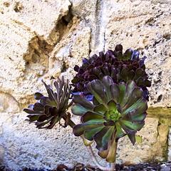 Indigenous Blaze (Padmacara) Tags: australia fremantle plant indigenous g11 macro flower stone masonry closeup nature