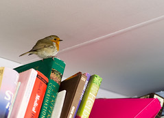 Book Bird (dusk_rider) Tags: robin books bird library perched nikon d7200 nikkor 60mm f28d beast from east erithacus rubecula indoors growing people letchworth hertfordshire