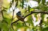 Preening Black-throated Trogon (Bonnie Ott) Tags: laselvabiologicalreserve costarica explore explored blackthroatedtrogon trogonrufus crescentiaexpeditions