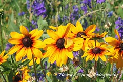 Lancaster Wildflower Meadow (156) (Framemaker 2014) Tags: lancaster wildflower meadow manhiem township pennsylvania dutch country county united states america