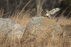 3O2A4852-Short Eared Owl (ikereed) Tags: birdphotography shortearedowl birdwatching birding birds canon7dmarkll