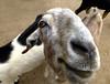 Cabrito (jagar41_ Juan Antonio) Tags: animales animal cabras cabrito