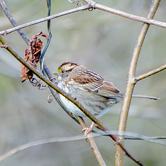 White-throated Sparrow - Cottonwood Trail, SC (hmthelords) Tags: cottonwoodtrailsc