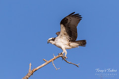Male Osprey landing sequence - 21 of 28