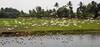 Hundreds of Egrets on the Kerala Backwaters (amanda & allan) Tags: kerala backwaters alleppey india kettuvallams houseboats houseboat riceboat riceboats palms palmtrees veniceoftheeast egret egrets