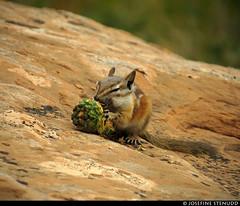 20160822_29 Chipmunk (Neotamias sp.?) gnawing on pine cone, eyes closed | Arches National Park, Utah (ratexla) Tags: ratexlasgreentortoisetrip2016 ratexlascanyonsofthewesttrip2016 nonhumananimals greentortoise canyonsofthewest 22aug2016 2016 canonpowershotsx50hs archesnationalpark utah usa theus unitedstates theunitedstates america northamerica nordamerika earth tellus photophotospicturepicturesimageimagesfotofotonbildbilder wanderlust travel travelling traveling journey vacation holiday semester resaresor ontheroad hiking hike sommar summer beautiful nature life organism nonhumananimal animal animals djur cute cool wild wildlife vild vilda biology zoology chipmunk chipmunks neotamiassp neotamias eating feeding omnomnom favorite