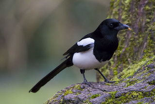 Magpie (Explored)