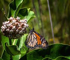Fresh Milk (Portraying Life, LLC) Tags: milan michigan unitedstates handheld nativelighting closecrop pentax k1 da3004 hd14tc meadow milkweed butterfly