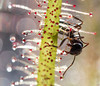 doomed (marianna_a.) Tags: sundew plant sticky trap insectivore ant insect macro mariannaarmata