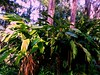 Bright Jungle (Chris C. Crowley) Tags: brightjungle tropical sugarmillgardens portorangeflorida foliage giantleaves bananaplant palmtrees woods