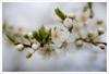 Fiore 239 (Outlaw Pete 65) Tags: macro closeup fiori flowers boccioli blossoms foglie leaves colori colours bianco white verde green natura nature primavera spring nikond600 sigma105mm cellatica lombardia italia