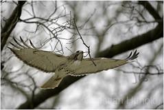 T4 (Christian Hunold) Tags: t4 redtailedhawk buteojamaicensis rotschwanzbussard urbanhawk hawk eakinsoval philadelphia christianhunold