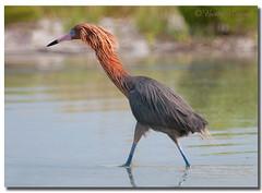 Reddish Egret (Betty Vlasiu) Tags: reddish egret t egretta rufescens bird nature wildlife florida