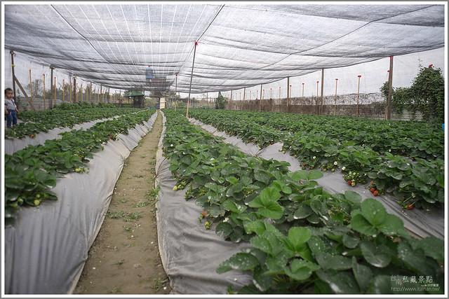 善化草莓 來去晴空農場找無農藥栽種的草莓 (3)