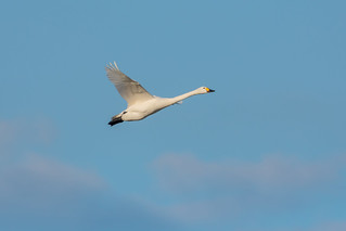 Heading Home..Bewicks Swan in Flight