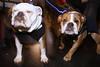 London (jaumescar) Tags: london england unitedkingdom lumiere flash animal dog bulldog two dogs pet funny portrait street photo light color urban