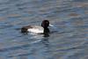 march 2018 lake katherine (timp37) Tags: lake katherine illinois palos march 2018 bird duck