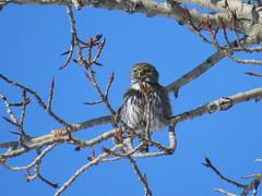 Northern pygmy owl (KiwiHugger) Tags: northernpygmyowl